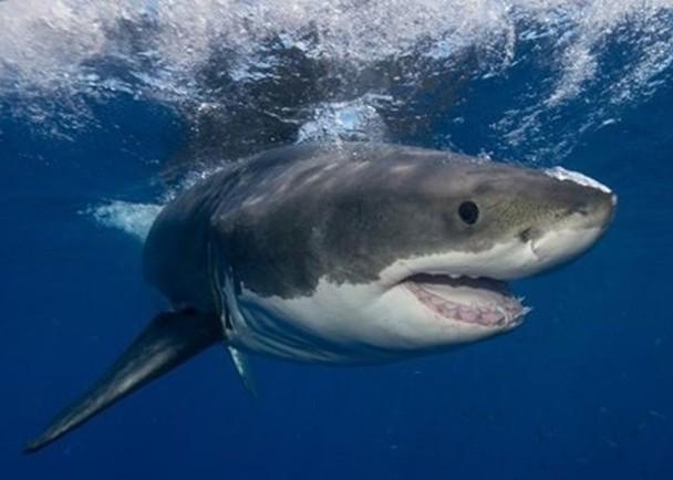 鯊魚嗜血? 研究:攻擊人概率僅百萬分之五|即時新聞|美洲|on.cc東網