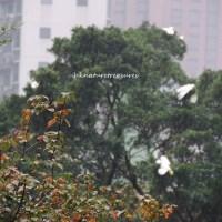 香港的小葵花鳳頭鸚鵡 hong kong's yellow-crested cockatoo