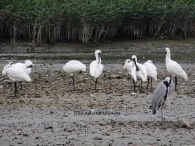 grey heron & blackfaced spoon-bills