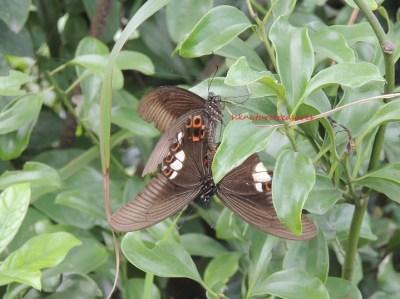 swallowtails mating