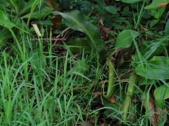 8 pitcher plants