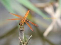Asian amberwing closeup