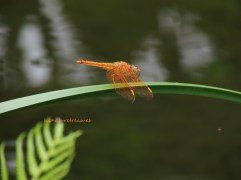 asian amberwing