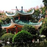 秋色:複羽葉欒樹 autumn colour: chinese flame tree (koelreuteria bipinnata)