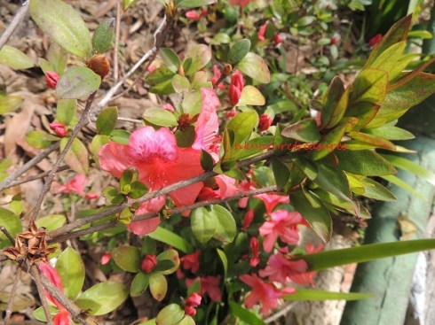 azalea feb14