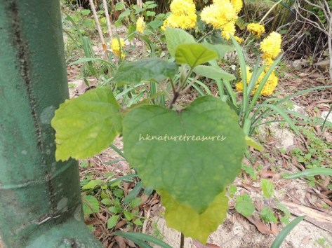 fragrant gloryberry feb14