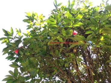 hk camellia feb14
