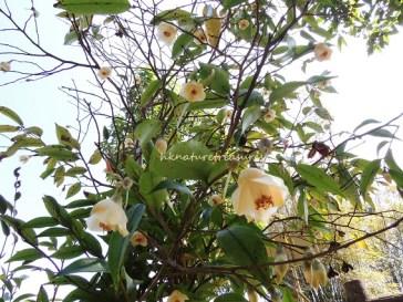 Tail-leaved Camellia