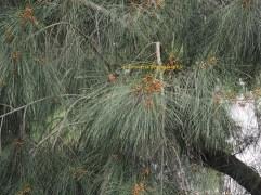 horsetail tree