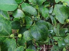 waxy leaf & shield bug