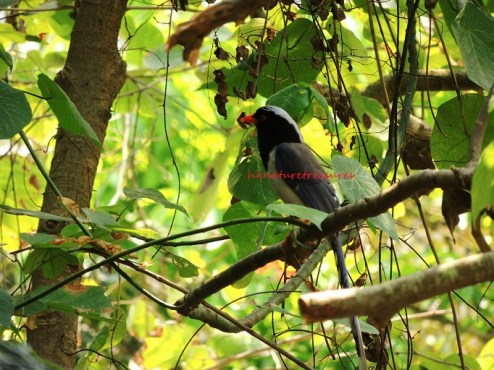 red-billed blue magpie apr15