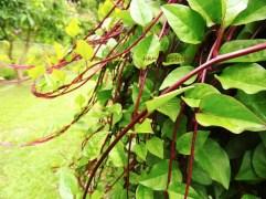 潺菜 vine spinach red jul15