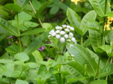 ageratum-conyzoides-billygoatweed-oct16
