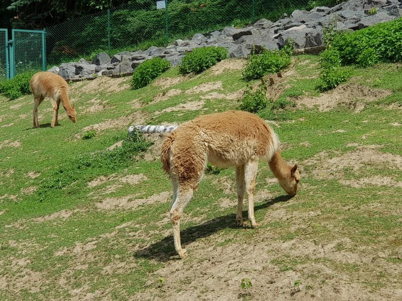 Die Vikunjas sind nur eine Tierart aus Südamerika, die es im Zoo zu sehen gibt.