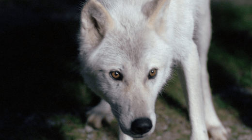 The wolf in Conduit 2