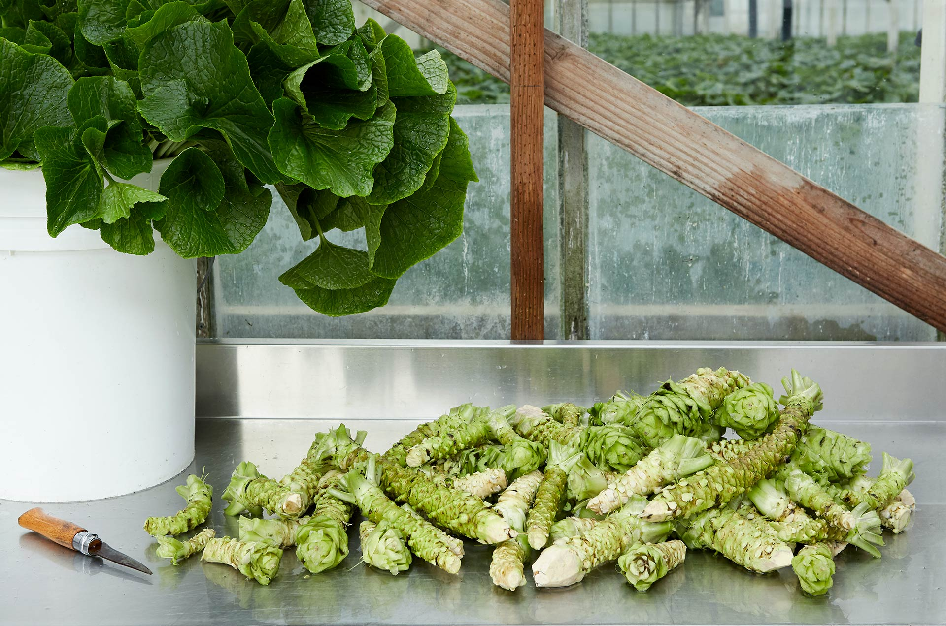Fresh, Authentic Wasabi from Half Moon Bay Wasabi Company