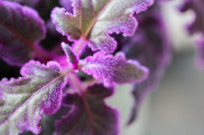 fluweelplant-blog-review-paars-makkelijk-onderhoud