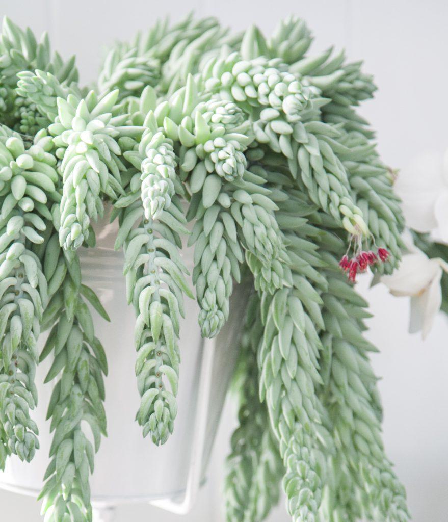 Hang Vetplant - Hanging Succulent – Sedum Morganianum