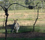 Wallaby in the vines