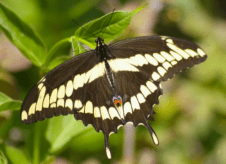 Figure 1: Giant Swallowtail Butterfly adult, Prince Edward Point, May 30, 2009