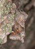 Clostera Apicalis © Fiona Reid