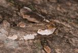 Dogwood thyratirid (Euthyatira pudens) © Fiona Reid