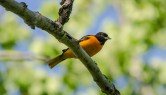 Baltimore Oriole © Anne McDermaid