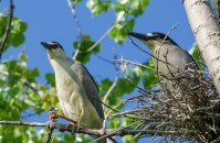 Black-crowned Night Herons © Anne McDermaid