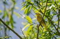 Yellow Warbler © Anne McDermaid