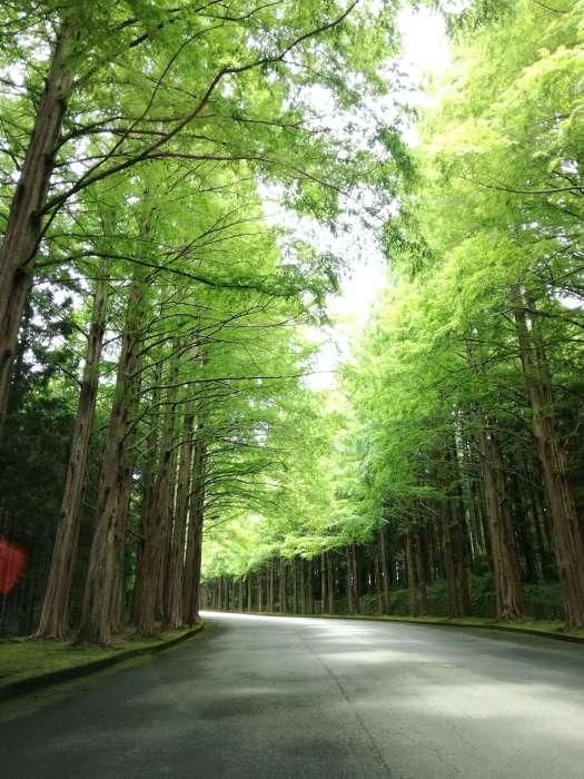 裾野メタセコイア並木