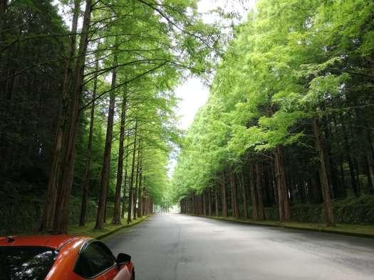 静岡裾野市メタセコイア並木