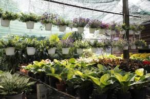 hoa dạ yên thảo treo
