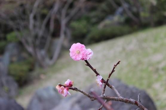 Sakura! (Kirschblüten)