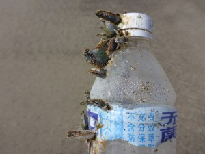 Hmm, a Japanese water bottle covered with gooseneck barnacles.  Leave it on the beach, or carry it to the trash?
