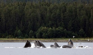 Humpback whales 'bubble net feeding' in Chatham Strait.  Photo by Rob Dunbar.