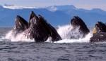 AK_whale_fdn