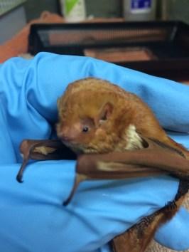 Red Bat (Migratory)