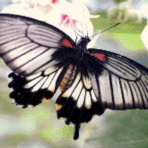 MyHobby borduurpakket - zwart wit gestreepte vlinder