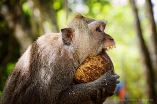 Маймунка се мъчи с кокосов орех - Убуд, Бали