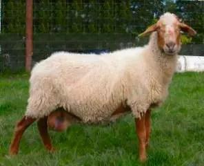 awassi-sheep