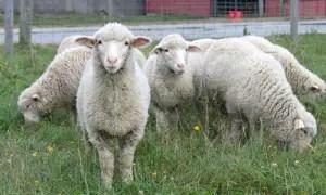 cormo-sheep
