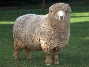 corriedale-sheep