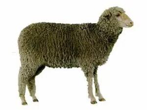 debouillet-sheep