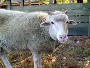 gulf-coast-native-sheep