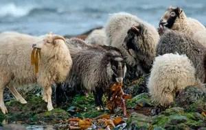 north-ronaldsay-sheep