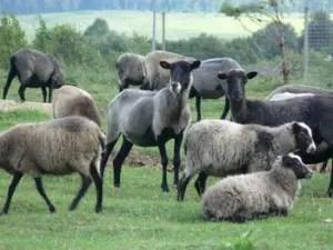 romanov-sheep