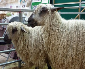 teeswater-sheep
