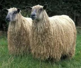 wensleydale-sheep