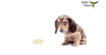 Cómo enseñar a tu perro a no hacer sus necesidades en casa