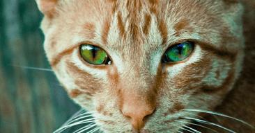 Cómo mantener brillante el pelo del gato